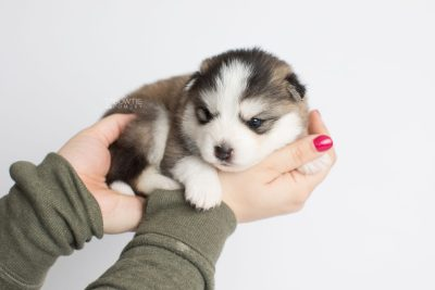puppy179 week3 BowTiePomsky.com Bowtie Pomsky Puppy For Sale Husky Pomeranian Mini Dog Spokane WA Breeder Blue Eyes Pomskies Celebrity Puppy web8