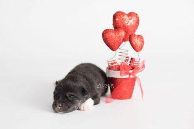 puppy183 week1 BowTiePomsky.com Bowtie Pomsky Puppy For Sale Husky Pomeranian Mini Dog Spokane WA Breeder Blue Eyes Pomskies Celebrity Puppy web6