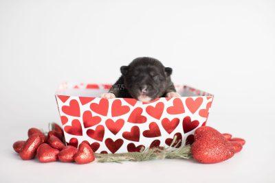 puppy185 week1 BowTiePomsky.com Bowtie Pomsky Puppy For Sale Husky Pomeranian Mini Dog Spokane WA Breeder Blue Eyes Pomskies Celebrity Puppy web1