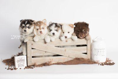 puppy175-179 week5 BowTiePomsky.com Bowtie Pomsky Puppy For Sale Husky Pomeranian Mini Dog Spokane WA Breeder Blue Eyes Pomskies Celebrity Puppy web2