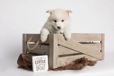 puppy175 week5 BowTiePomsky.com Bowtie Pomsky Puppy For Sale Husky Pomeranian Mini Dog Spokane WA Breeder Blue Eyes Pomskies Celebrity Puppy web4