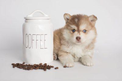puppy176 week5 BowTiePomsky.com Bowtie Pomsky Puppy For Sale Husky Pomeranian Mini Dog Spokane WA Breeder Blue Eyes Pomskies Celebrity Puppy web2