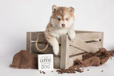 puppy176 week5 BowTiePomsky.com Bowtie Pomsky Puppy For Sale Husky Pomeranian Mini Dog Spokane WA Breeder Blue Eyes Pomskies Celebrity Puppy web5