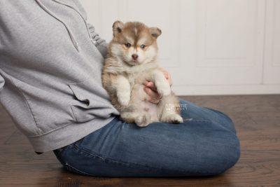 puppy176 week5 BowTiePomsky.com Bowtie Pomsky Puppy For Sale Husky Pomeranian Mini Dog Spokane WA Breeder Blue Eyes Pomskies Celebrity Puppy web7