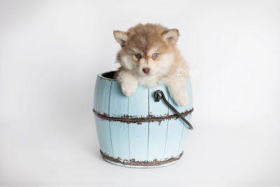 puppy176 week7 BowTiePomsky.com Bowtie Pomsky Puppy For Sale Husky Pomeranian Mini Dog Spokane WA Breeder Blue Eyes Pomskies Celebrity Puppy web7