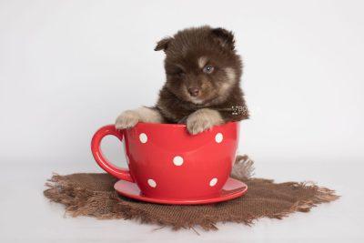 puppy177 week5 BowTiePomsky.com Bowtie Pomsky Puppy For Sale Husky Pomeranian Mini Dog Spokane WA Breeder Blue Eyes Pomskies Celebrity Puppy web1