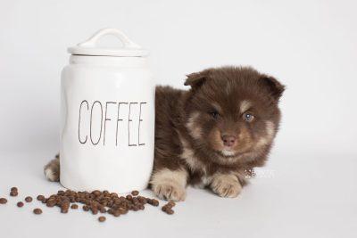 puppy177 week5 BowTiePomsky.com Bowtie Pomsky Puppy For Sale Husky Pomeranian Mini Dog Spokane WA Breeder Blue Eyes Pomskies Celebrity Puppy web2