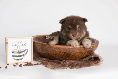 puppy177 week5 BowTiePomsky.com Bowtie Pomsky Puppy For Sale Husky Pomeranian Mini Dog Spokane WA Breeder Blue Eyes Pomskies Celebrity Puppy web5