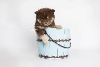 puppy177 week7 BowTiePomsky.com Bowtie Pomsky Puppy For Sale Husky Pomeranian Mini Dog Spokane WA Breeder Blue Eyes Pomskies Celebrity Puppy web6