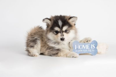 puppy178 week7 BowTiePomsky.com Bowtie Pomsky Puppy For Sale Husky Pomeranian Mini Dog Spokane WA Breeder Blue Eyes Pomskies Celebrity Puppy web3