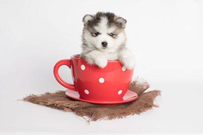 puppy179 week5 BowTiePomsky.com Bowtie Pomsky Puppy For Sale Husky Pomeranian Mini Dog Spokane WA Breeder Blue Eyes Pomskies Celebrity Puppy web1