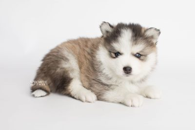 puppy179 week5 BowTiePomsky.com Bowtie Pomsky Puppy For Sale Husky Pomeranian Mini Dog Spokane WA Breeder Blue Eyes Pomskies Celebrity Puppy web3