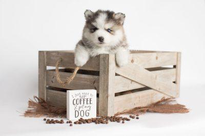 puppy179 week5 BowTiePomsky.com Bowtie Pomsky Puppy For Sale Husky Pomeranian Mini Dog Spokane WA Breeder Blue Eyes Pomskies Celebrity Puppy web5