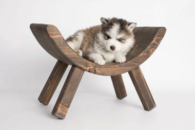 puppy179 week5 BowTiePomsky.com Bowtie Pomsky Puppy For Sale Husky Pomeranian Mini Dog Spokane WA Breeder Blue Eyes Pomskies Celebrity Puppy web6