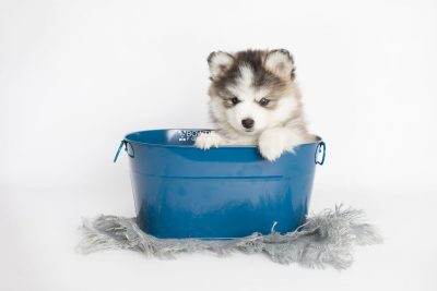 puppy179 week7 BowTiePomsky.com Bowtie Pomsky Puppy For Sale Husky Pomeranian Mini Dog Spokane WA Breeder Blue Eyes Pomskies Celebrity Puppy web1