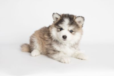 puppy179 week7 BowTiePomsky.com Bowtie Pomsky Puppy For Sale Husky Pomeranian Mini Dog Spokane WA Breeder Blue Eyes Pomskies Celebrity Puppy web4