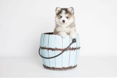 puppy179 week7 BowTiePomsky.com Bowtie Pomsky Puppy For Sale Husky Pomeranian Mini Dog Spokane WA Breeder Blue Eyes Pomskies Celebrity Puppy web5