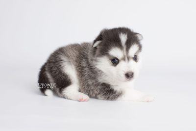 puppy181 week3 BowTiePomsky.com Bowtie Pomsky Puppy For Sale Husky Pomeranian Mini Dog Spokane WA Breeder Blue Eyes Pomskies Celebrity Puppy web6