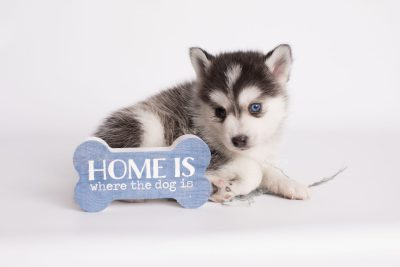 puppy181 week5 BowTiePomsky.com Bowtie Pomsky Puppy For Sale Husky Pomeranian Mini Dog Spokane WA Breeder Blue Eyes Pomskies Celebrity Puppy web2
