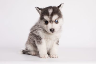 puppy181 week5 BowTiePomsky.com Bowtie Pomsky Puppy For Sale Husky Pomeranian Mini Dog Spokane WA Breeder Blue Eyes Pomskies Celebrity Puppy web6