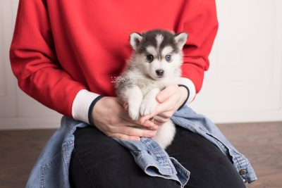 puppy181 week5 BowTiePomsky.com Bowtie Pomsky Puppy For Sale Husky Pomeranian Mini Dog Spokane WA Breeder Blue Eyes Pomskies Celebrity Puppy web7