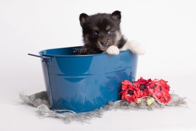 puppy183 week5 BowTiePomsky.com Bowtie Pomsky Puppy For Sale Husky Pomeranian Mini Dog Spokane WA Breeder Blue Eyes Pomskies Celebrity Puppy web1