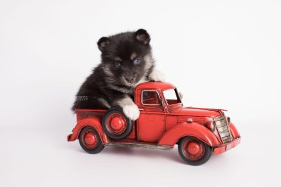 puppy183 week5 BowTiePomsky.com Bowtie Pomsky Puppy For Sale Husky Pomeranian Mini Dog Spokane WA Breeder Blue Eyes Pomskies Celebrity Puppy web3