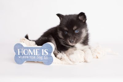 puppy183 week5 BowTiePomsky.com Bowtie Pomsky Puppy For Sale Husky Pomeranian Mini Dog Spokane WA Breeder Blue Eyes Pomskies Celebrity Puppy web4