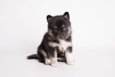puppy183 week5 BowTiePomsky.com Bowtie Pomsky Puppy For Sale Husky Pomeranian Mini Dog Spokane WA Breeder Blue Eyes Pomskies Celebrity Puppy web6