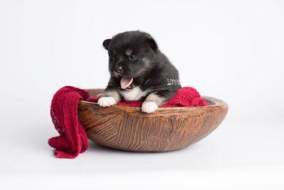 puppy185 week3 BowTiePomsky.com Bowtie Pomsky Puppy For Sale Husky Pomeranian Mini Dog Spokane WA Breeder Blue Eyes Pomskies Celebrity Puppy web3