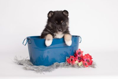 puppy185 week5 BowTiePomsky.com Bowtie Pomsky Puppy For Sale Husky Pomeranian Mini Dog Spokane WA Breeder Blue Eyes Pomskies Celebrity Puppy web1