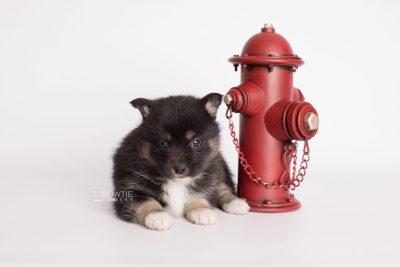 puppy185 week5 BowTiePomsky.com Bowtie Pomsky Puppy For Sale Husky Pomeranian Mini Dog Spokane WA Breeder Blue Eyes Pomskies Celebrity Puppy web2