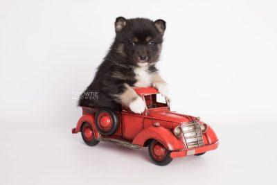 puppy185 week5 BowTiePomsky.com Bowtie Pomsky Puppy For Sale Husky Pomeranian Mini Dog Spokane WA Breeder Blue Eyes Pomskies Celebrity Puppy web3