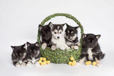 puppy180-185 week7 BowTiePomsky.com Bowtie Pomsky Puppy For Sale Husky Pomeranian Mini Dog Spokane WA Breeder Blue Eyes Pomskies Celebrity Puppy web