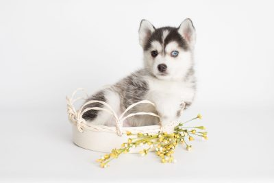 puppy181 week7 BowTiePomsky.com Bowtie Pomsky Puppy For Sale Husky Pomeranian Mini Dog Spokane WA Breeder Blue Eyes Pomskies Celebrity Puppy web4