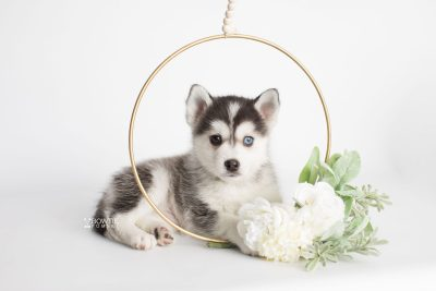 puppy181 week7 BowTiePomsky.com Bowtie Pomsky Puppy For Sale Husky Pomeranian Mini Dog Spokane WA Breeder Blue Eyes Pomskies Celebrity Puppy web5