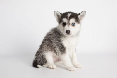 puppy181 week7 BowTiePomsky.com Bowtie Pomsky Puppy For Sale Husky Pomeranian Mini Dog Spokane WA Breeder Blue Eyes Pomskies Celebrity Puppy web6