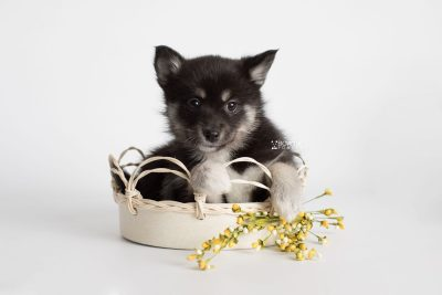 puppy182 week7 BowTiePomsky.com Bowtie Pomsky Puppy For Sale Husky Pomeranian Mini Dog Spokane WA Breeder Blue Eyes Pomskies Celebrity Puppy web5