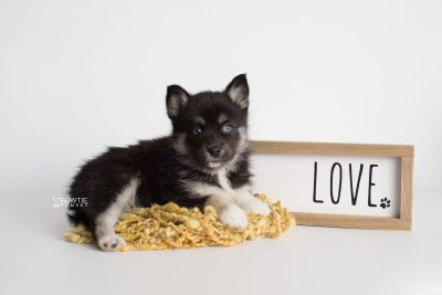 puppy183 week7 BowTiePomsky.com Bowtie Pomsky Puppy For Sale Husky Pomeranian Mini Dog Spokane WA Breeder Blue Eyes Pomskies Celebrity Puppy web1