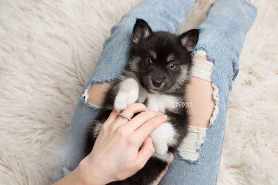 puppy183 week7 BowTiePomsky.com Bowtie Pomsky Puppy For Sale Husky Pomeranian Mini Dog Spokane WA Breeder Blue Eyes Pomskies Celebrity Puppy web7