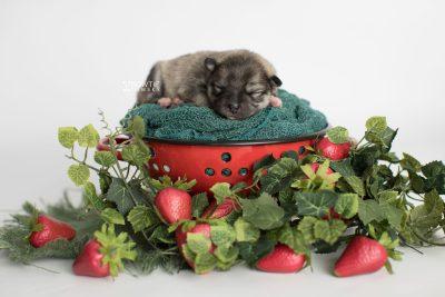 puppy186 week1 BowTiePomsky.com Bowtie Pomsky Puppy For Sale Husky Pomeranian Mini Dog Spokane WA Breeder Blue Eyes Pomskies Celebrity Puppy web4