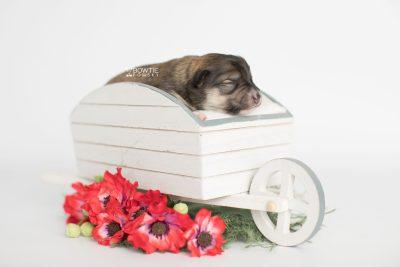 puppy189 week1 BowTiePomsky.com Bowtie Pomsky Puppy For Sale Husky Pomeranian Mini Dog Spokane WA Breeder Blue Eyes Pomskies Celebrity Puppy web1