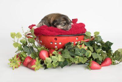 puppy189 week1 BowTiePomsky.com Bowtie Pomsky Puppy For Sale Husky Pomeranian Mini Dog Spokane WA Breeder Blue Eyes Pomskies Celebrity Puppy web5