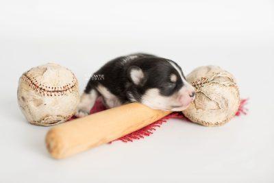 puppy191 week1 BowTiePomsky.com Bowtie Pomsky Puppy For Sale Husky Pomeranian Mini Dog Spokane WA Breeder Blue Eyes Pomskies Celebrity Puppy web3