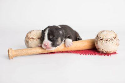 puppy193 week1 BowTiePomsky.com Bowtie Pomsky Puppy For Sale Husky Pomeranian Mini Dog Spokane WA Breeder Blue Eyes Pomskies Celebrity Puppy web4