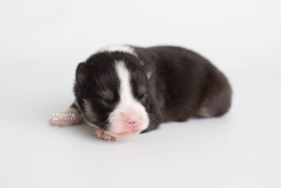 puppy193 week1 BowTiePomsky.com Bowtie Pomsky Puppy For Sale Husky Pomeranian Mini Dog Spokane WA Breeder Blue Eyes Pomskies Celebrity Puppy web6