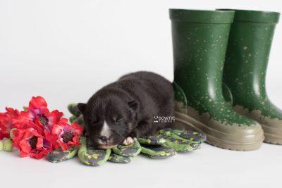 puppy195 week1 BowTiePomsky.com Bowtie Pomsky Puppy For Sale Husky Pomeranian Mini Dog Spokane WA Breeder Blue Eyes Pomskies Celebrity Puppy web3