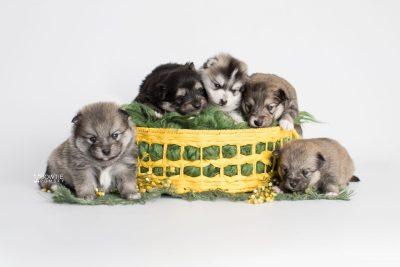 puppy186-190 week3 BowTiePomsky.com Bowtie Pomsky Puppy For Sale Husky Pomeranian Mini Dog Spokane WA Breeder Blue Eyes Pomskies Celebrity Puppy web