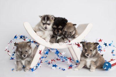 puppy186-190 week5 BowTiePomsky.com Bowtie Pomsky Puppy For Sale Husky Pomeranian Mini Dog Spokane WA Breeder Blue Eyes Pomskies Celebrity Puppy web