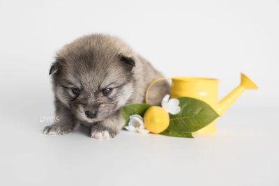 puppy186 week3 BowTiePomsky.com Bowtie Pomsky Puppy For Sale Husky Pomeranian Mini Dog Spokane WA Breeder Blue Eyes Pomskies Celebrity Puppy web3